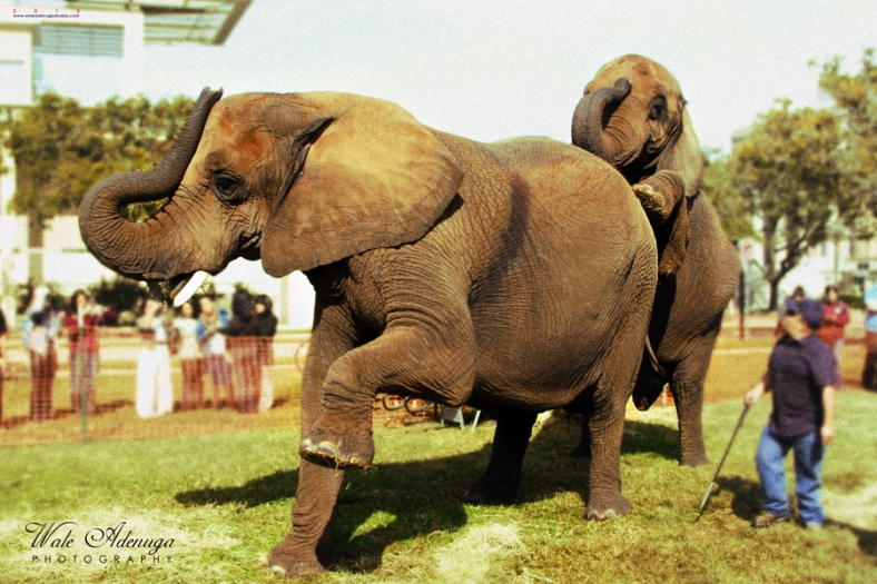 The Elephant's stunt